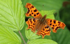 Картинка зелень, листья, макро, фон, узор, бабочка, растение, оранжевая, насекомое, крылышки, пятнистая