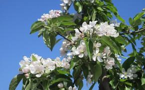 Картинка небо, яблоня, весна 2018, Meduzanol ©