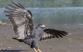 Картинка вода, природа, птица, берег, крылья, ястреб, размах