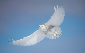 Картинка зима, взгляд, свет, снег, полет, поза, сова, птица, красота, белая, летит, голубой фон, полярная, голубое …