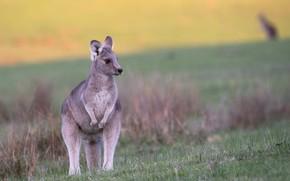 Картинка трава, поляна, кенгуру