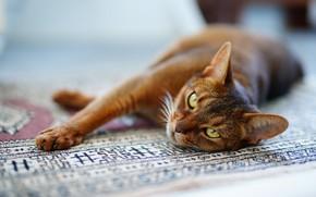 Картинка кошка, кот, взгляд, морда, поза, релакс, ковер, лапы, пол, лежит, красотка, абиссинская, оттягивается