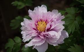 Картинка цветок, листья, макро, розовый, лепестки, пион