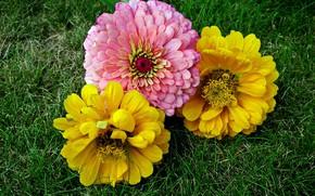 Картинка Цветы, травка, Циннея