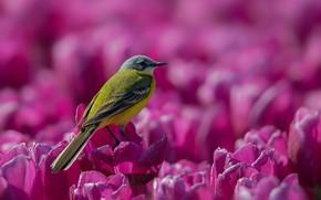 Картинка птица, тюльпаны, кроха