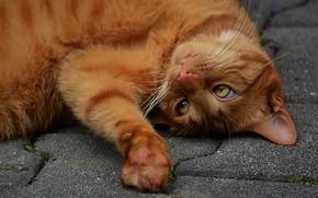 Картинка кошка, кот, взгляд, морда, поза, лапа, рыжий, лежит, тротуар