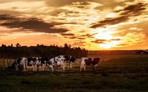 Картинка поле, закат, коровы