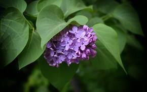 Картинка весна, листики, сирень