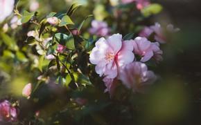 Картинка листья, свет, цветы, ветки, весна, розовые, цветение, боке, камелия