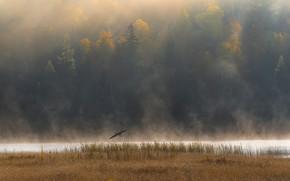 Картинка осень, лес, полет, туман, река, птица, берег, водоем, цапля