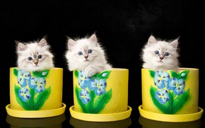Картинка фон, котята, трио, вазоны, троица, Невская маскарадная кошка, Наталья Ляйс