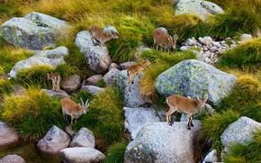 Картинка камни, Испания, стадо, Сьерра-де-Гредос, пиренейский козёл