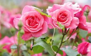 Картинка розы, сад, розовые