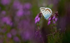 Картинка макро, цветы, природа, сиреневый, бабочка, поляна, размытый фон, вереск