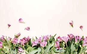 Картинка цветы, розовый фон, pink, flowers