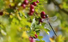 Картинка осень, лето, листья, макро, свет, ягоды, размытие, стрекоза, плоды, красные, насекомое, боке, боярышник