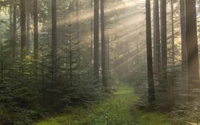 Картинка лес, лето, солнце, лучи, свет, деревья, ветки, туман, заросли, стволы, красота, утро, атмосфера, ели, дорожка, …