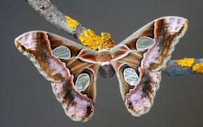 Картинка макро, серый, фон, узор, бабочка, ветка, насекомое, крылышки, коричневая, бежевая, павлиноглазка
