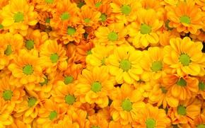 Картинка цветы, желтые, summer, хризантемы, yellow, flowers, bright