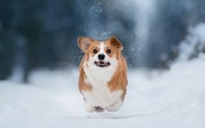 Картинка зима, снег, природа, собака, бег, пёс, корги, Anna Oris