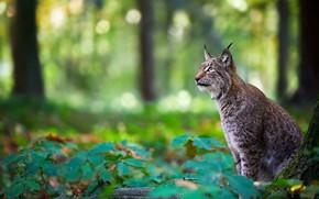 Картинка лес, рысь, дикая кошка