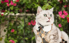 Картинка зелень, язык, кошка, лето, кот, взгляд, цветы, серый, одежда, светлый, сад, костюм, окрас, мордашка, полосатый, …