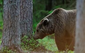 Картинка лес, морда, медведь, профиль, бурый