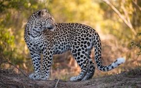Картинка взгляд, леопард, большая кошка