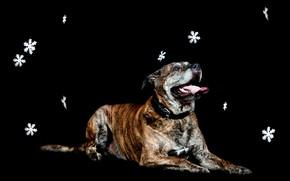 Картинка снежинки, собака, лежит, черный фон