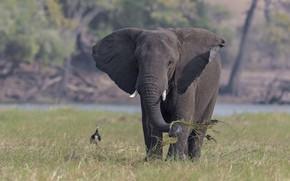 Картинка трава, природа, слон, DUELL ©