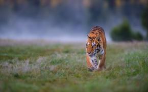 Картинка поле, трава, взгляд, природа, тигр, поза, туман, фон, поляна, утро, охота, прогулка, дикая кошка, крадется