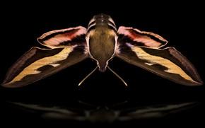 Картинка природа, насекомое, Hyles gallii