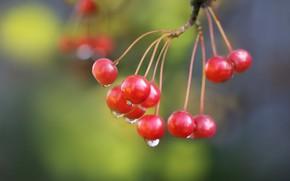 Картинка осень, капли, ягоды