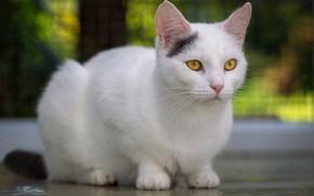 Картинка кошка, кот, взгляд, морда, поза, фон, белая, сидит, боке, желтые глаза