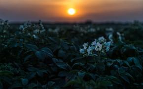 Картинка поле, лето, небо, листья, солнце, закат, цветы, вечер, цветение, картофель, цветение картофеля, картофельное поле