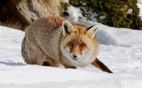 Картинка зима, взгляд, морда, снег, природа, поза, лапа, лиса, лисица