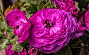 Картинка цветок, макро, цветы, яркий, розовый, пышный, ранункулюс, ранункулюсы