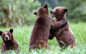 Картинка трава, природа, поляна, игра, борьба, медведь, медведи, пара, мишки, два, соперники, бурые, конкуренты, два медведя