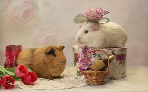 Картинка цветы, праздник, подарки, тюльпаны, парочка, корзинка, морские свинки, бутылка вина, нрызуны