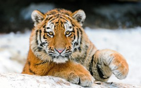 Картинка зима, взгляд, морда, снег, тигр, поза, фон, лапы, малыш, лежит, тигренок, тигрёнок