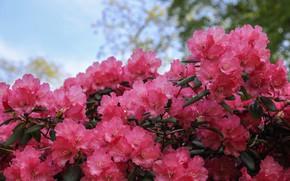 Картинка рододендрон, азалия, розовый