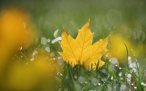 Картинка осень, трава, лист, клён