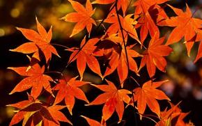 Картинка осень, листья, природа, ветка, клён, оранжевые