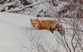 Картинка зима, взгляд, снег, ветки, природа, лиса, сугробы, прогулка