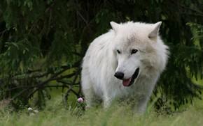Картинка лес, язык, белый, взгляд, ветки, природа, поза, волк, хвоя, арктический, полярный