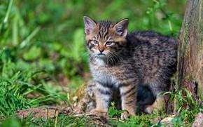 Картинка зелень, кошка, лето, трава, кот, взгляд, свет, природа, котенок, малыш, котёнок, дикий, лесной, европейский
