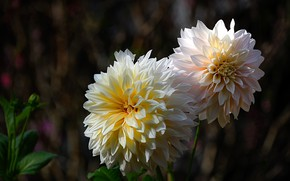 Картинка цветы, темный фон, сад, георгины, белые, боке