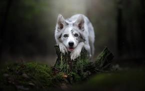 Картинка взгляд, морда, фон, мох, пень, собака, Бордер-колли
