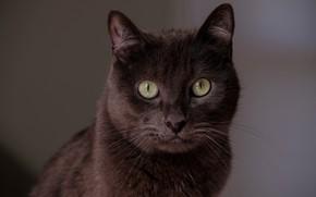 Картинка кошка, кот, взгляд, морда, портрет, коричневый, шоколадный