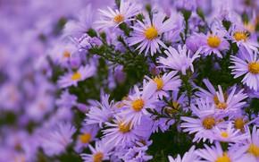 Картинка цветы, клумба, много, сиреневые, боке, астры